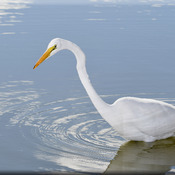 Close up of Great Egret!