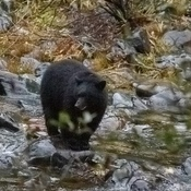 black Bear at sooke potholes