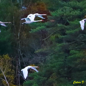 Mute Swans flying this morning