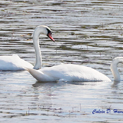 The new pair of Mute Swans