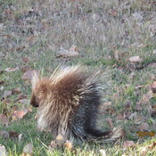 A Porcupine In Our Back Yard