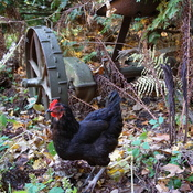 chicken foraging
