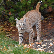 Bobcat on the prowl