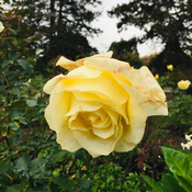 Yellow Rose of QE Garden, Vancouver BC🇨🇦