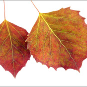 Souvenir leaves, Elliot Lake.