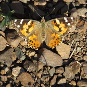 another and another painted lady
