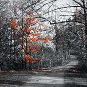 Selective Color Autumn Maple Tree