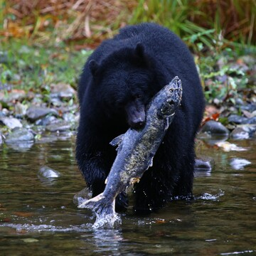 Black Bear catches Wild Salmon
