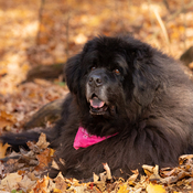 Tillie in Fall leaves