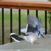 Feeding the Blue Jays