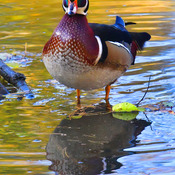 Wood Ducks and fall colors