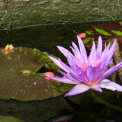 Lily Pad & Flower
