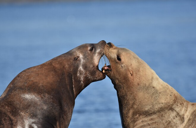 Seal-ed with a Kiss Cowichan Bay, BC