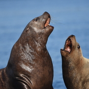 Sea Lion Sing-a-Long