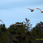 Mute Swan Family flying