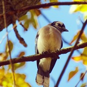 autumn bluejay