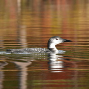 Autumn Loon