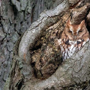 Eastern Screech Owl - Adult red morph.