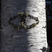 eye on a birch tree