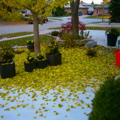 Ginko tree leaves carpetting the garden