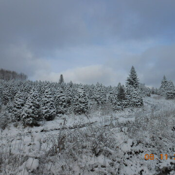 Is a very hard time for the Christmas trees growers,