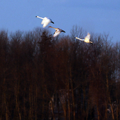 rare Trumpeter Swans