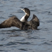 Immature Common Loon