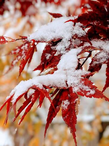 Red maple leaf under white snow Thornhill, ON