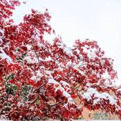Red maple leaves under white snow