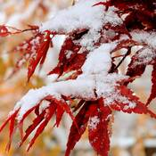 Red maple leaves meet white snow