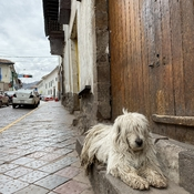 Cusco Street Dog