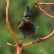 Beautiful Stellar Jay