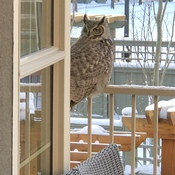 Owl On Back Deck