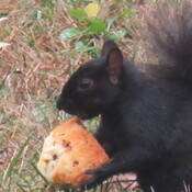squirrel eating pumpkin