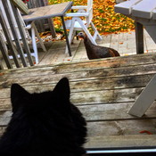 Turkey vs Kitty stare off !