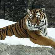 Amur Tiger At Toronto Zoo
