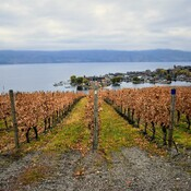 grey fall day at the vineyard