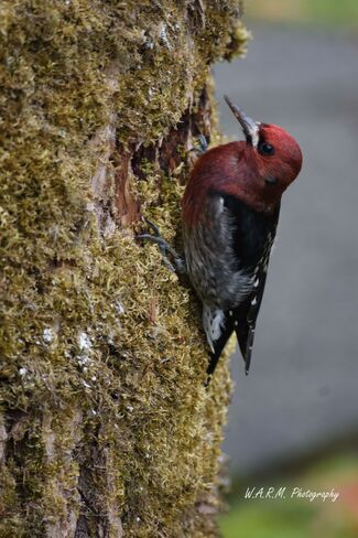 Woodpecker beauty Port Alberni, BC