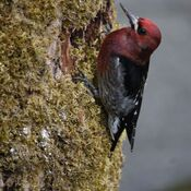 Woodpecker beauty