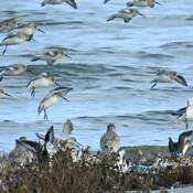 Flock of shore birds