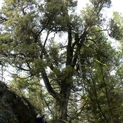 BIGGEST ROCKY MTN. JUNIPER in BC!