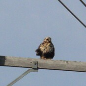 Rough Legged Hawk (roughie)