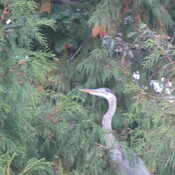 crane sitting in the cedar tree