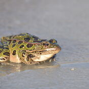 Leopard Frog on Ice