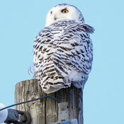 Snowy Owls are back