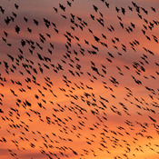 Sunset Murmuration European Starlings