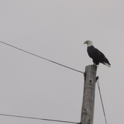 American Bald Eagle on the Bedford Highway/Basic
