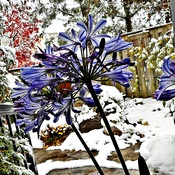 An Agapanthus View of First Snow