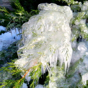 Ice On Bushes