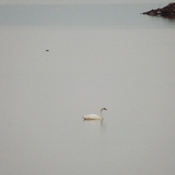 white swan in thunder bay